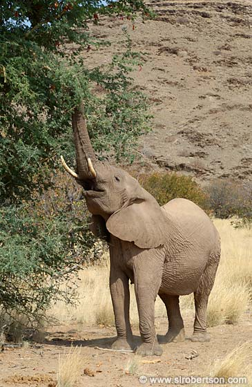 Photo: Desert Elephant Eating Acacia Fruit (1)