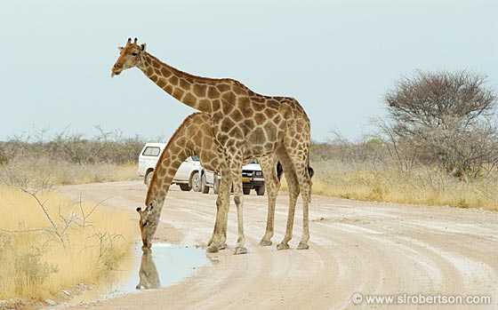 Photo: Giraffe's Drinking After a Rainstorm (2)