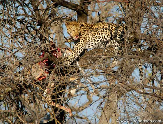 Photo: Leopard with Springbok Kill