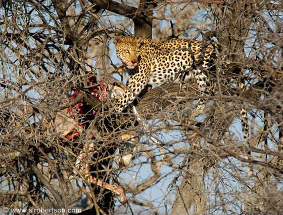 Leopard with Springbok Kill