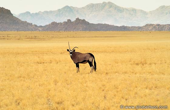Photo: Oryx with Bent Horn