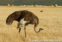 Ostrich in Wheat Field (1) - Click for large image