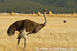 Ostrich in Wheat Field (2) - Click for large image