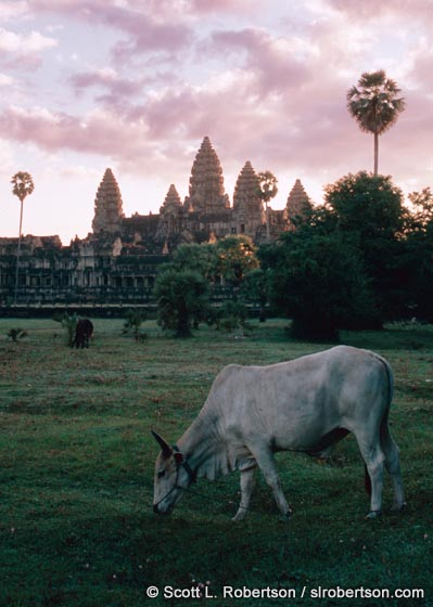 Photo: Angkor Wat Cow