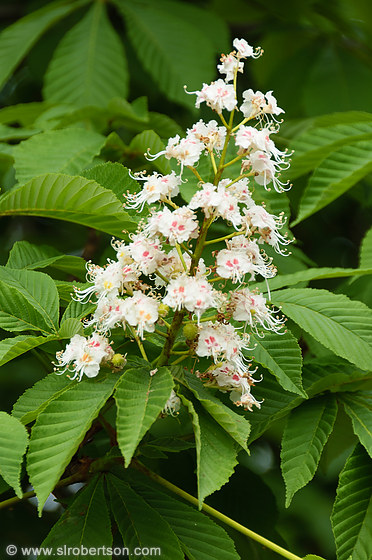 Chestnut Tree Blooms 2