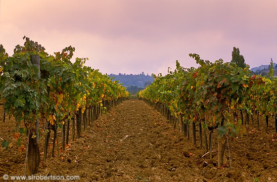 Tuscan Vineyard 1