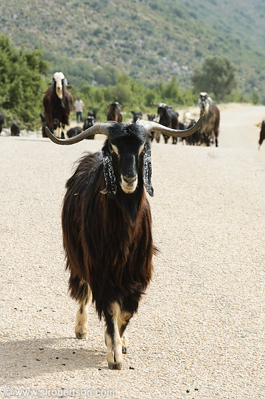 Turkish Goat Herd 5