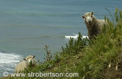 Surprised Sheep #1