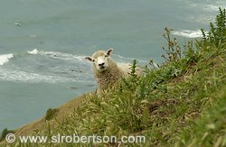 Surprised Sheep #2