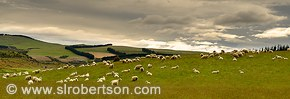 Flock of sheep grazing on hill