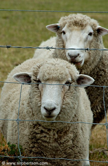 Photo of Two sheep behind barbed wire fence, sheep farm