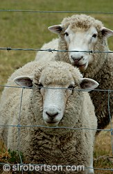 Two sheep behind barbed wire fence, sheep farm, Canterbury