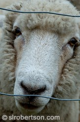 Closeup of sheep behind barbed wire fence