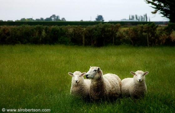 Three sheep - photo#8