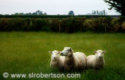 Three sheep standing together in a grassy paddock