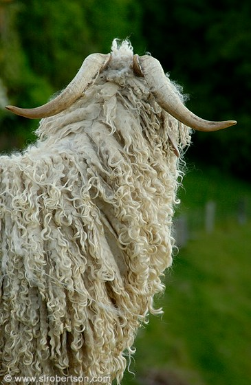 Closeup of angora goat