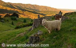 Angora goat standing on hillside with tree stump and wildflowers