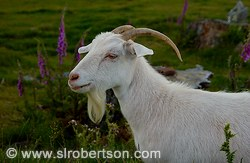 Profile of billy goat with wildflowers
