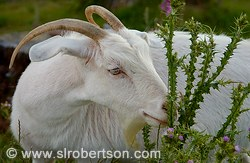 Billy goat eating wild thistle