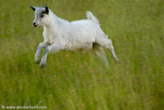 Jumping Goats Goat  go...