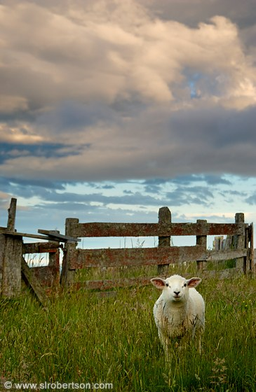 Young lamb standing in grass with fence and dramatic sky