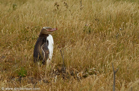 Yellow-eyed penguin (Megadyptes Antipodes, Maori: Hoiho) stands near its nest in grassy field near ocean