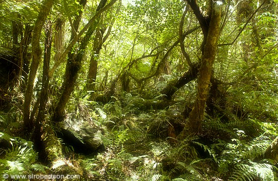 Lush rainforest at the base of Franz Joseph Glacier