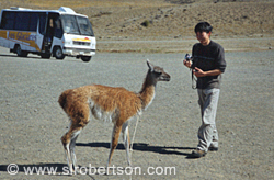 Guanaco and Tourist