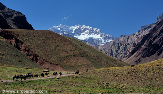 Pack mules returning from supplying mountain climbers on Mount Aconcagua, Mendoza
