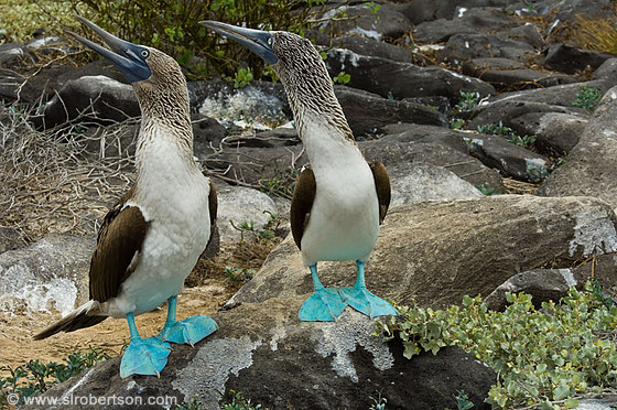 Blue Footed Boobies 14