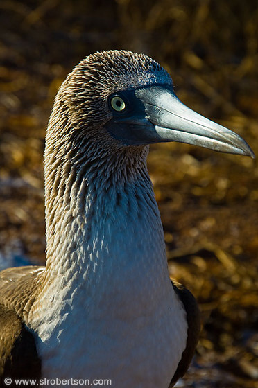 Blue Footed Booby 12