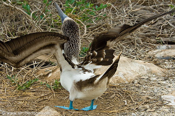 Blue Footed Booby Dance 2