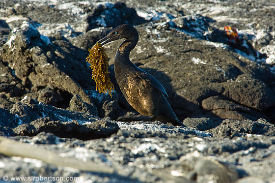 Flightless Cormorant 2