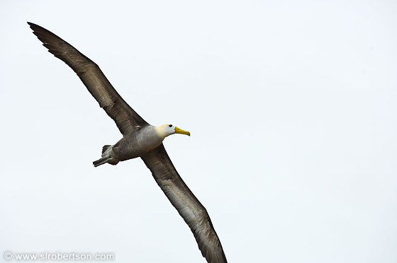 Flying Waved Albatross 5
