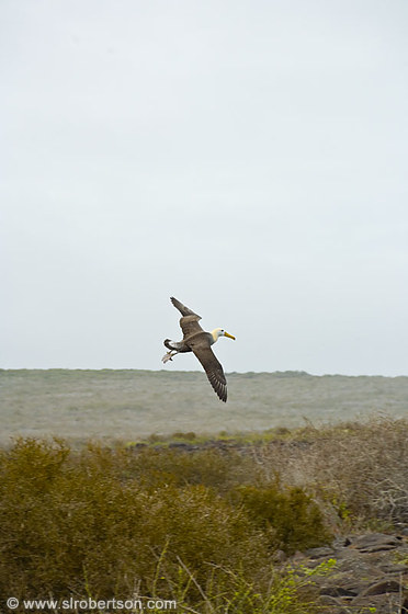 Flying Waved Albatross 8