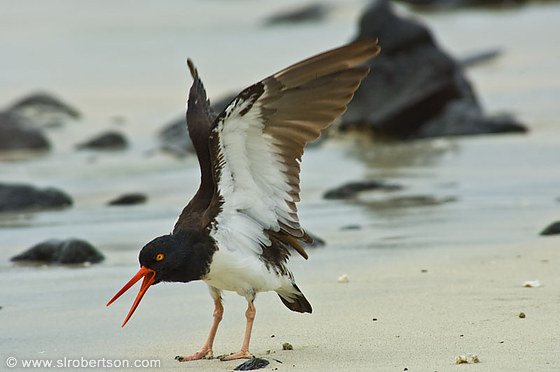Oyster Catcher 1