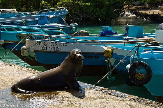 Puerto Ayora Sea Lion