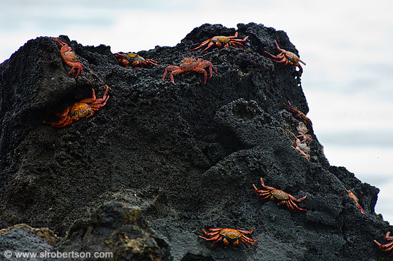 Sally Lightfoot Crabs 2