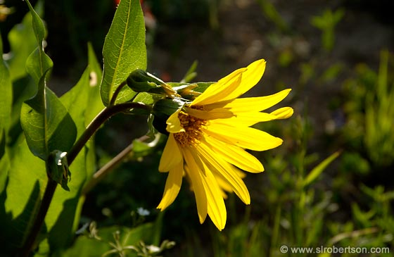 Photo: Backlit Mule's Ear Sunflower,  Wyethia Amplexicaulis
