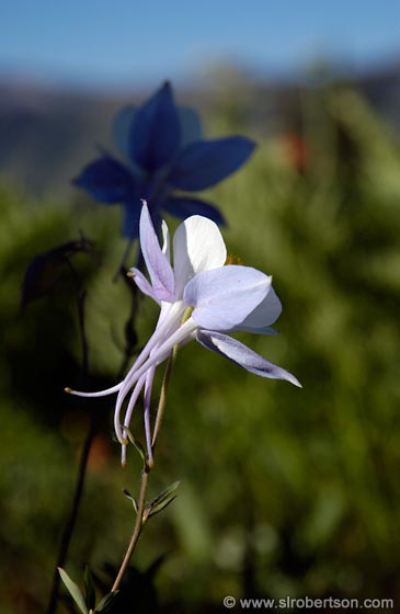 Photo: Columbine Silhouette, Aquilegia Caerulea