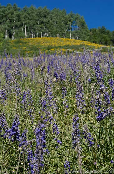 Photo: Field of Lupines, Lupinus spp.
