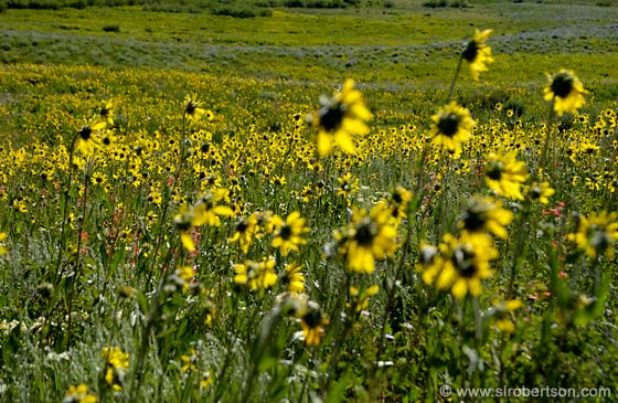 Photo: Field of Sunflowers (9)