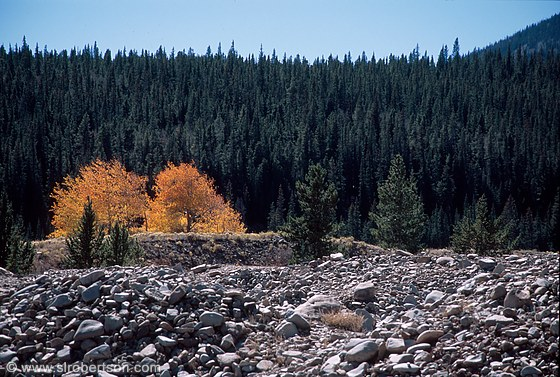 Riverbed stones and trees in Fall Colors, evergreens