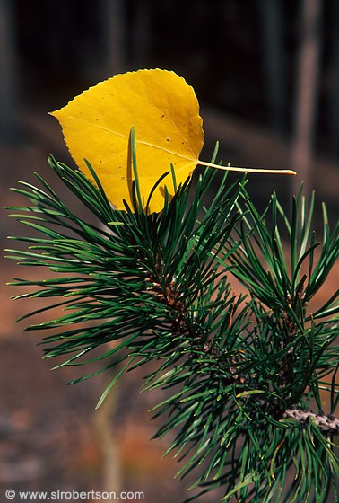 Yellow, golden aspen leaf caught in pine needles of evergreen tree