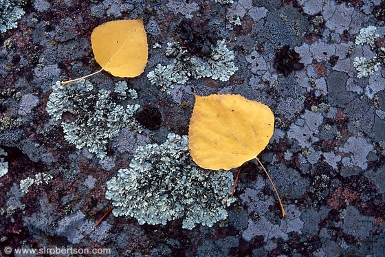 Two yellow aspen leaves on lichen covered boulder