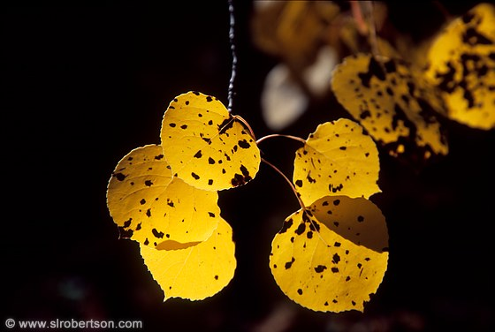 Backlit, black-spotted, yellow aspen leaves close-up
