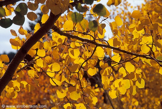 View through branches and backlit yellow aspen leaves