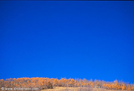 Aspen trees in Fall colors on hilltop with deep, blue sky