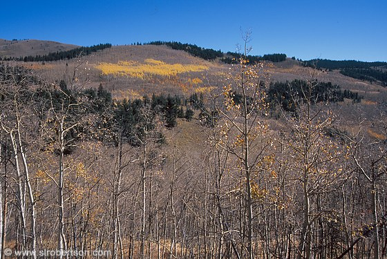 Pockets of yellow aspen trees among large grove of bare aspens, blue sky and evergreens on ridge top