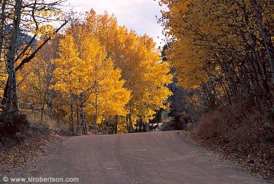 Aspen trees in Fall colors and gravel road